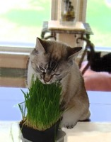 Order Grow Your Own Cat Grass Kit Now